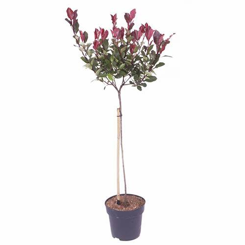 Standard Photinia Red Robin Tree