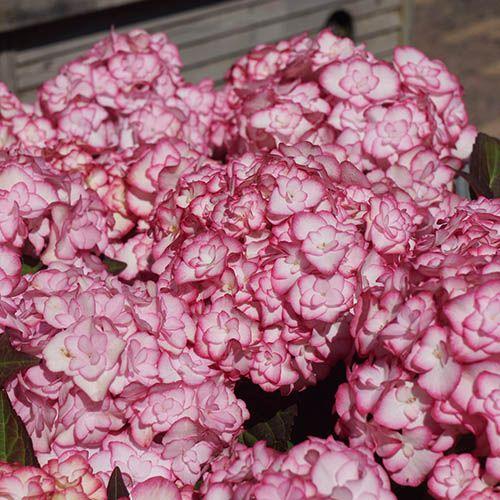 Hydrangea Miss Saori - Chelsea Show Plant of Year 2014