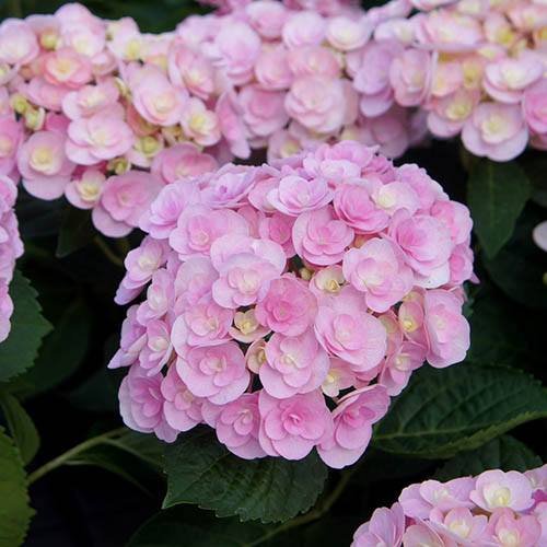 Double-Flowered Hydrangea Love