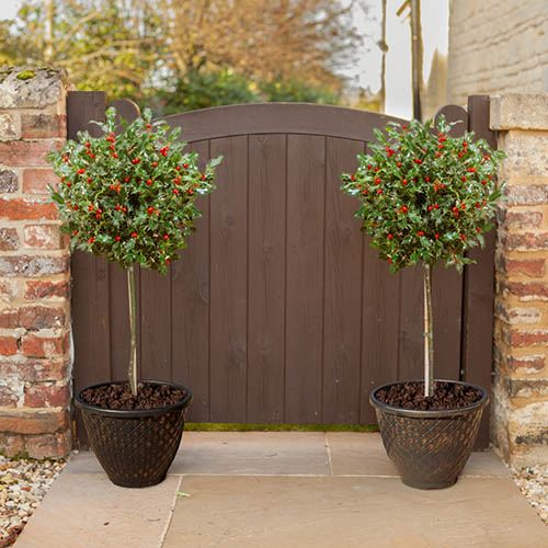 Pair of Standard Holly Trees with Gold Planters