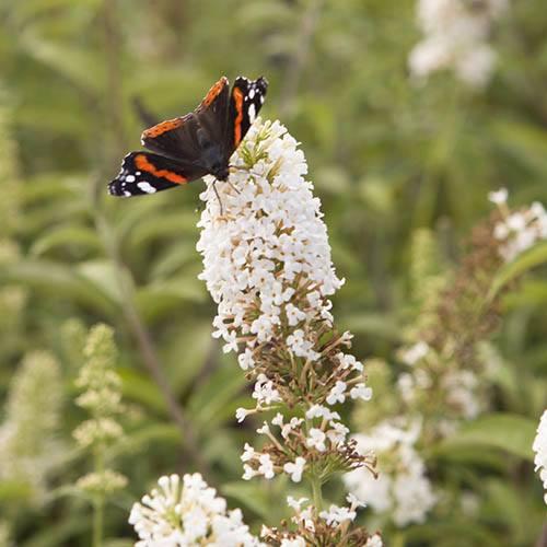Tricolour Buddleia Butterfly Bush