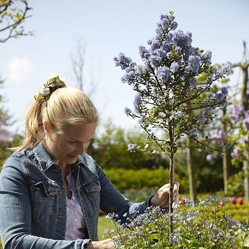 Californian Lilac Ceanothus Standards