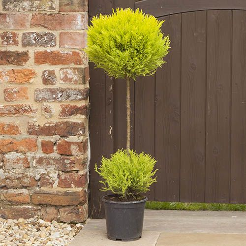 Cupressus Goldcrest Duo Ball Topiary 90cm