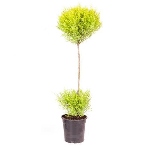 Cupressus Goldcrest Duo Ball Topiary 90cm