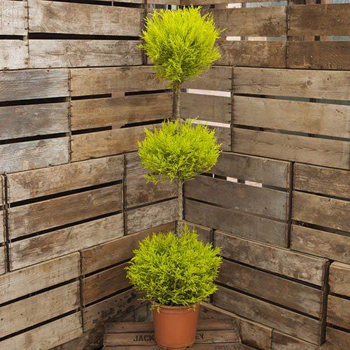 Cupressus Goldcrest TRIO Ball Topiary 1.2M