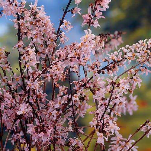 Pink Forsythia - Abeliophyllum distichium Roseum