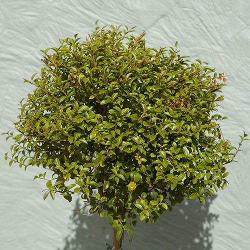Ligustrum standard - Privet Laurel