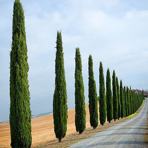 Pair of Italian Cypress Trees - 1.6-1.8m