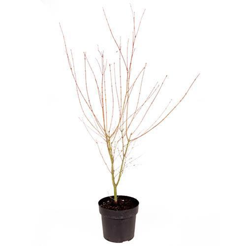 Acer palmatum Beni-Shichihenge