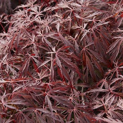 Acer Crimson Queen Standard