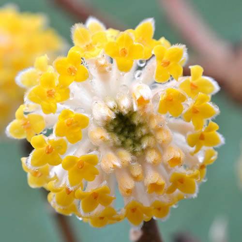 Edgeworthia chrysantha Grandiflora Paperbush