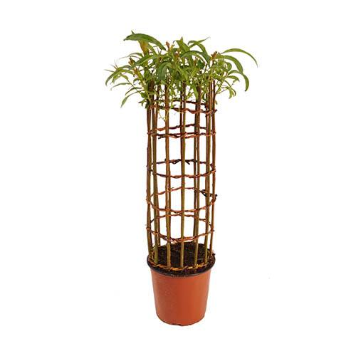Living Willow Sculpture Cylinder
