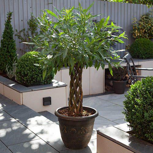 Decorative Living Willow Sculpture Harlequin Design 1M Tall