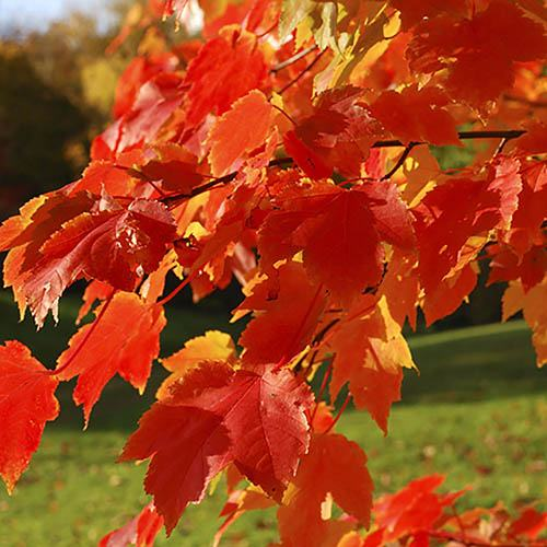 Acer freemanii  Celebration Maple Tree