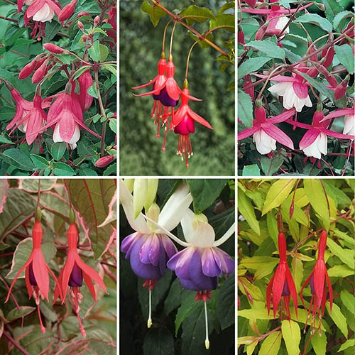 Classic Hardy Fuchsia plant collection 6 x 9cm