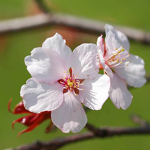 Mini-Standard Japanese Blossom Cherry Prunus Kojo-No-Mai