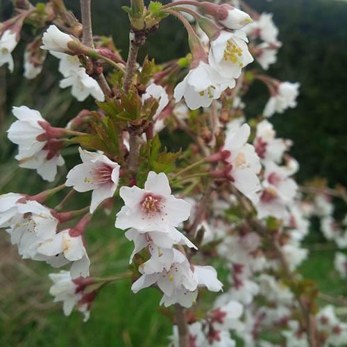 Mini-Standard Japanese Blossom Cherry Prunus Kojo-No-Mai