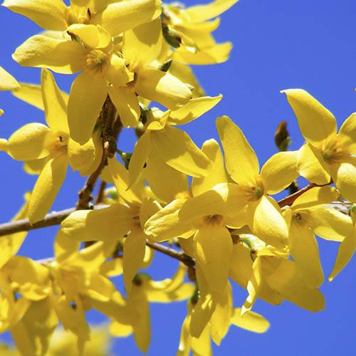 Forsythia Weekend Standard