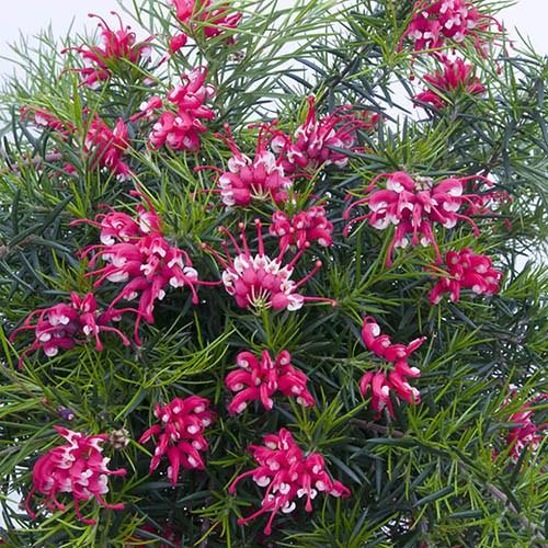 Set of 3 Grevillea Canberra Gem Flowering Shrubs in 9cm Pots