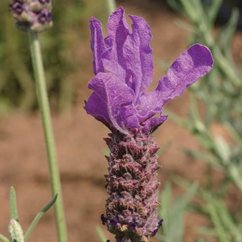 French Lavender Blue Star 3 x 2L