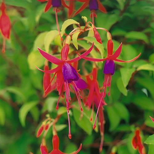 Fuchsia Genii 9cm