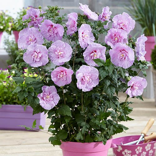 Hibiscus Chiffon Lavender potted 3L
