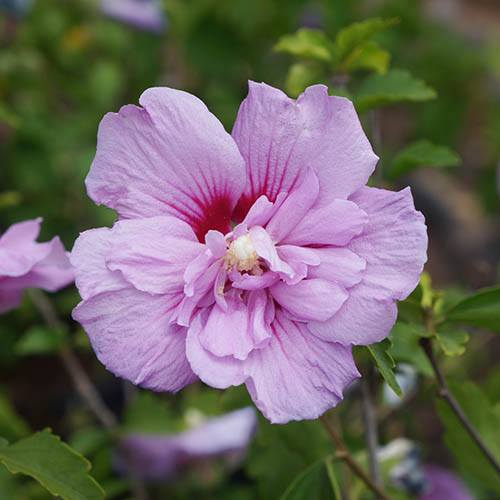 Hibiscus Chiffon Lavender potted 2L
