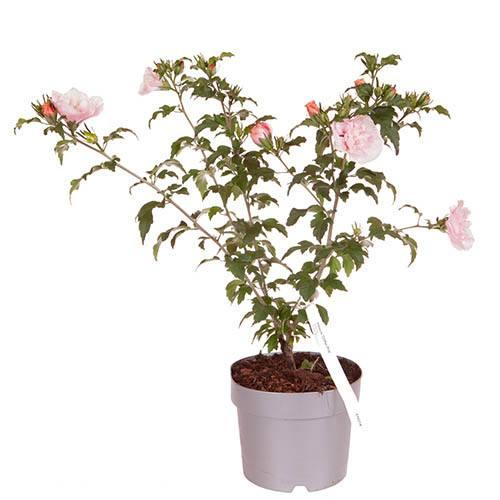 Hibiscus Chiffon Pink