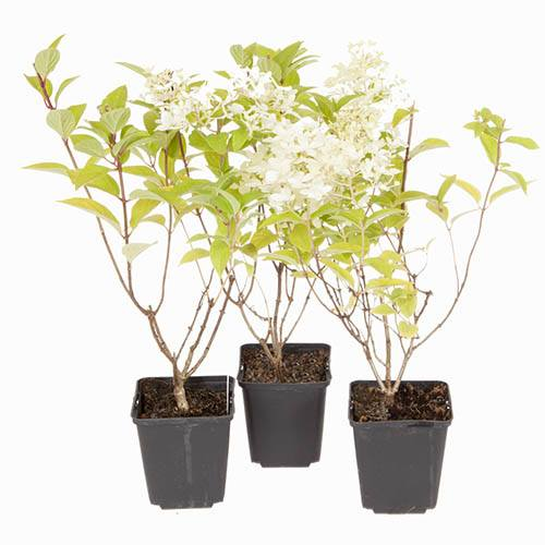 Hydrangea paniculata Limelight  3 Plants in 9cm Pots 20cm Tall