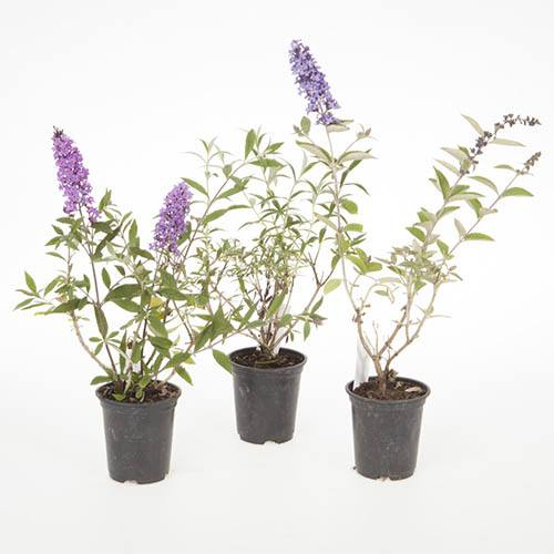 Buddleia Petite Collection