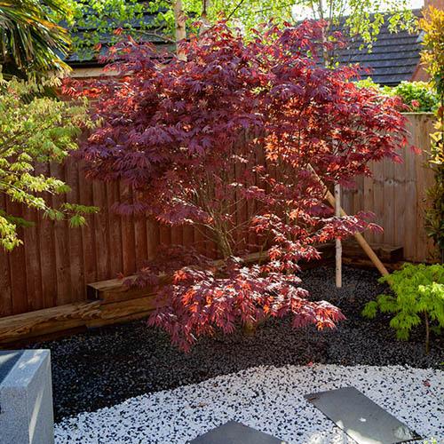 Acer palmatum Atropurpureum 3L
