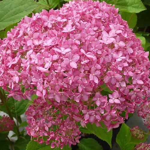 Tree Hydrangea Incrediball White & Invincibelle Pink