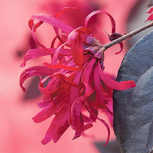 Loropetalum EverRed Chinese Witch Hazel
