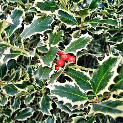 Silver Variegated Holly