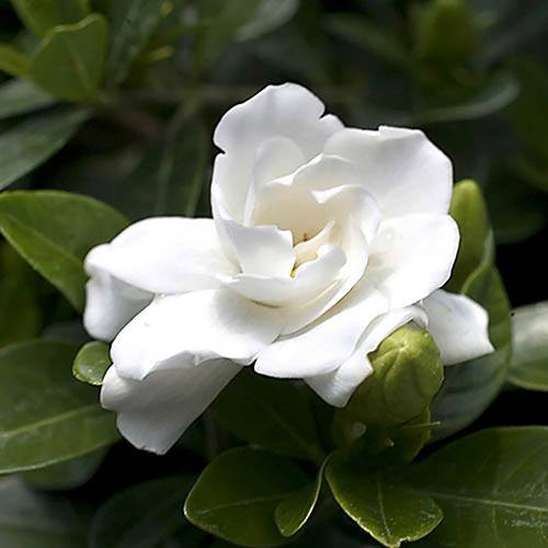 Hardy Gardenia Pair - Kleims & Crown Jewels 9cm
