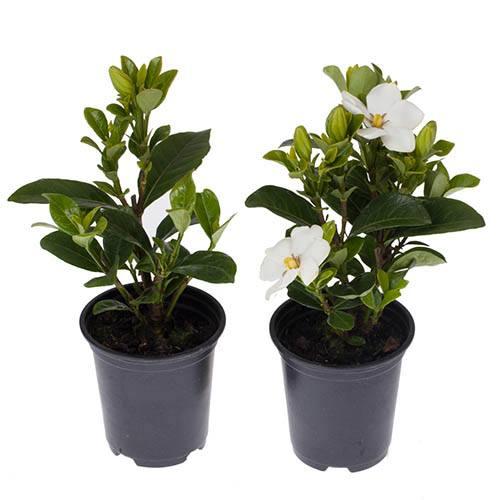 Hardy Gardenia Pair - Kleims & Crown Jewels 9cm