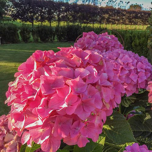 Hydrangea Belle Seduction