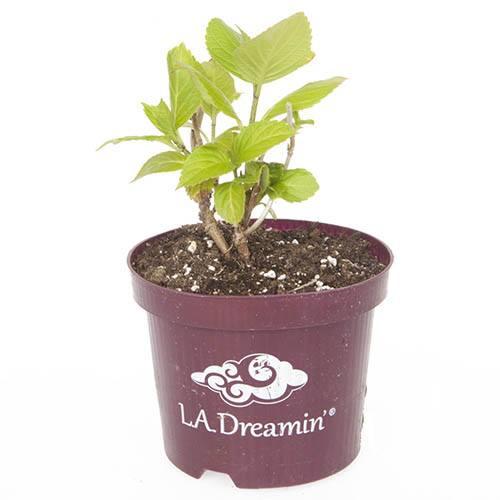 Hydrangea LA Dreamin