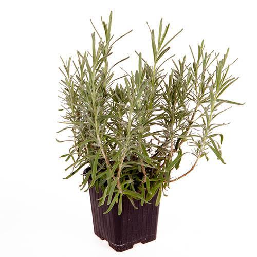 Lavender Hidcote - hedging