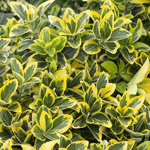 Euonymous jap. Luna evergreen specimen