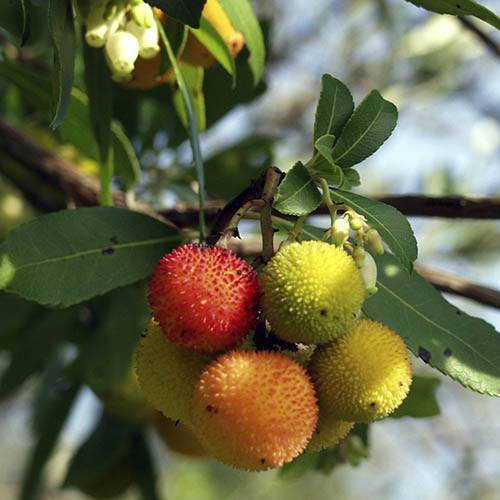 Strawberry Tree - Arbutus unedo