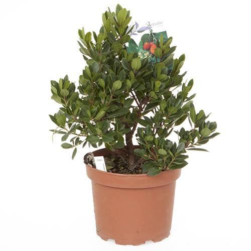 Strawberry Tree - Arbutus unedo