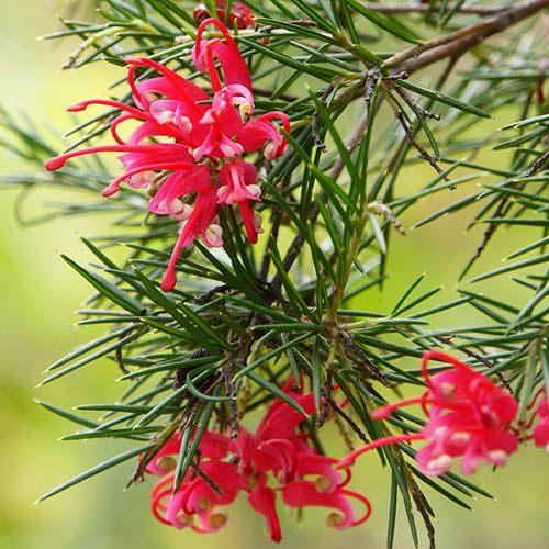 Grevillea juniperina. Spider Flower