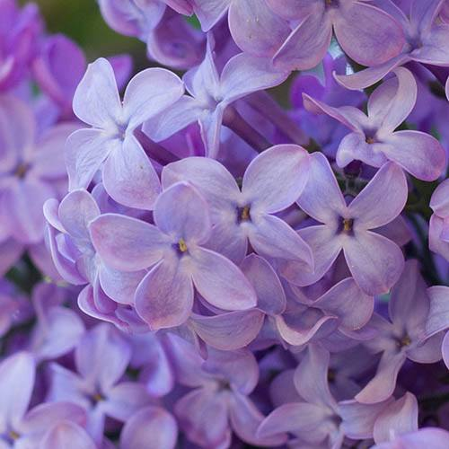 Fragrant French Lilac Amethyst