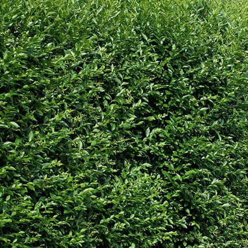 Privet Ligustrum ovalifolium Hedging