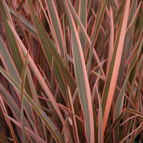 Phormium Sundowner Pink