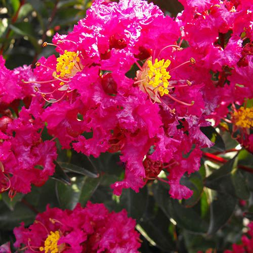 Lagerstroemia With Love Kisses