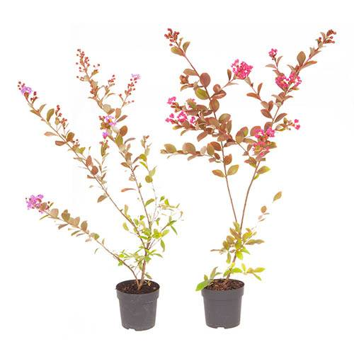 Pair of Lagerstroemia Crepe Myrtle