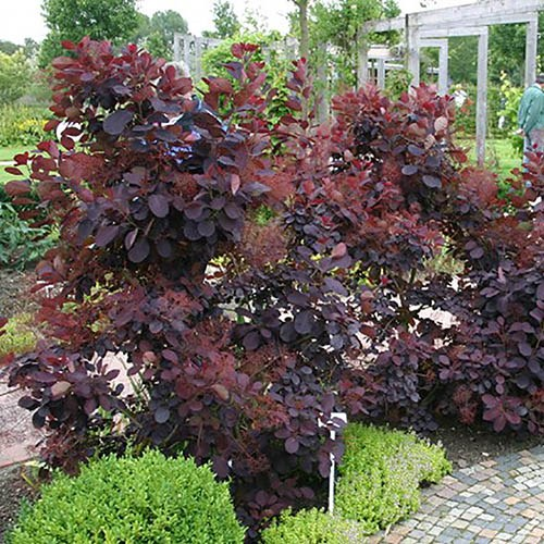 Pair of Purple Foliage Shrubs