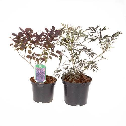 Pair of Purple Foliage Shrubs